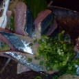 肴や 根室産生秋刀魚の刺身