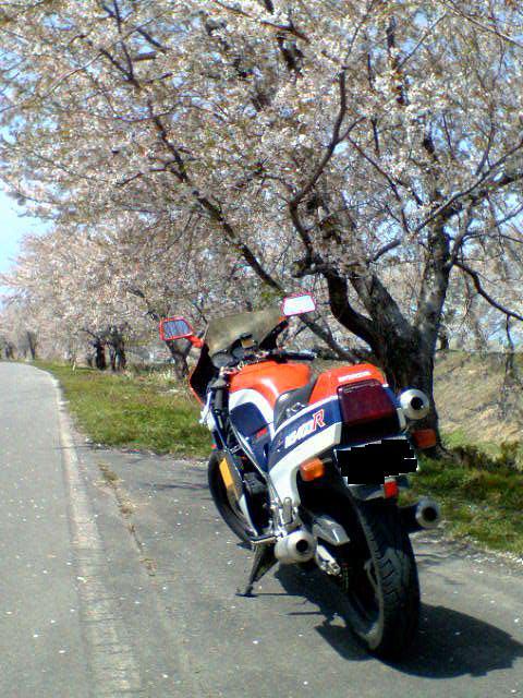 桜の名所の伝説